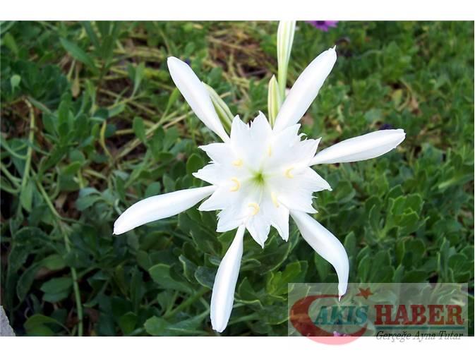 Türkiye'nin Yaban Çiçekleri 5