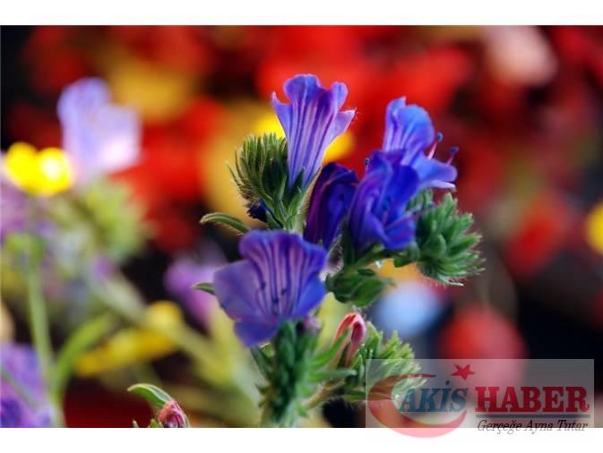 Türkiye'nin Yaban Çiçekleri 7