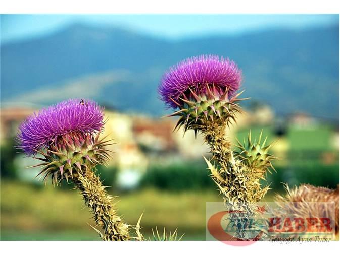 Türkiye'nin Yaban Çiçekleri 8