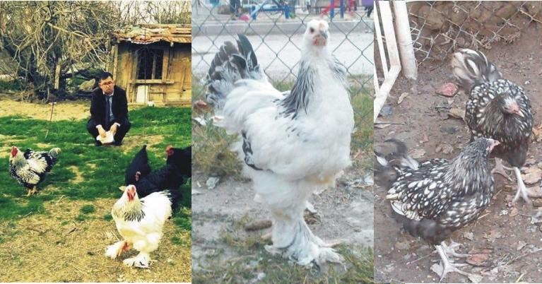Para Pul Değil,Tavuk Koleksiyonu Yapıyor!