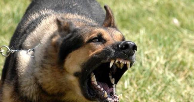 Çivril'de Sokak Köpekleri Yaşlı Kadına Saldırdı!