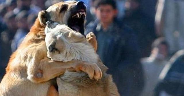 Acıpayam'da Köpek Dövüştürenlere Rekor Ceza!