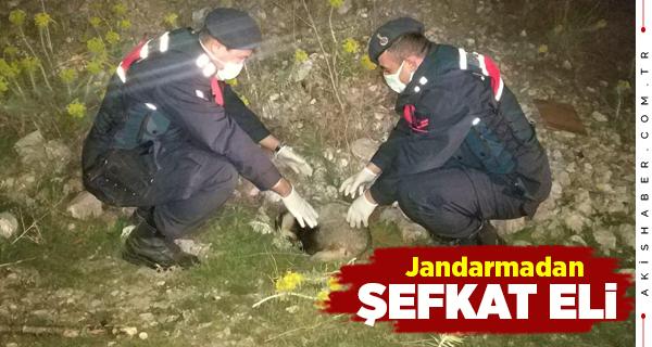 Denizli'de Yaralı Porsuğu Jandarma Kurtardı