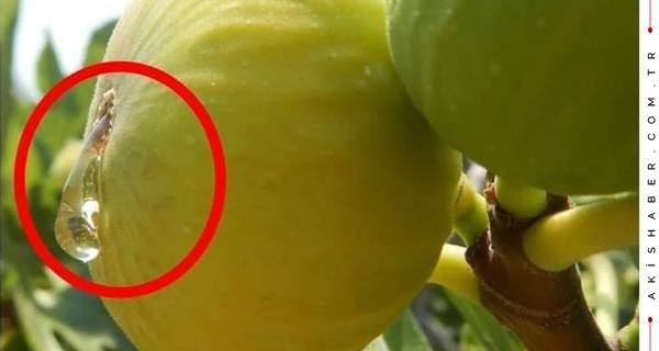 Zeytinlikte Neden İncir Ağacı Olur?