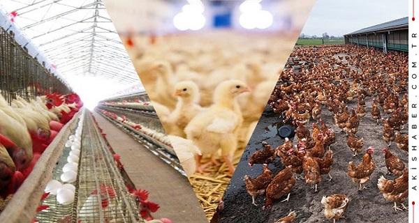 Tavuk yetiştiriciliği