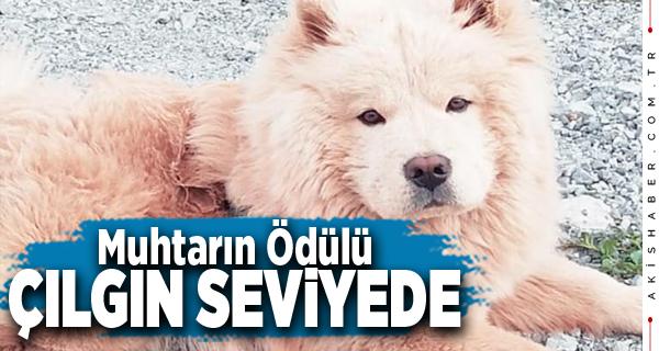 Denizli'de Kayıp Köpek İçin Ödül 18 Bin TL'ye Çıktı